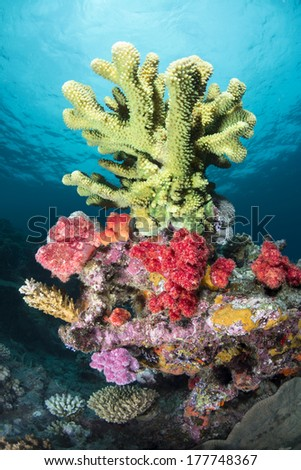 Large, green branching hard coral dominates a small reef and it surrounded by colorful sponges and algae. - stock photo