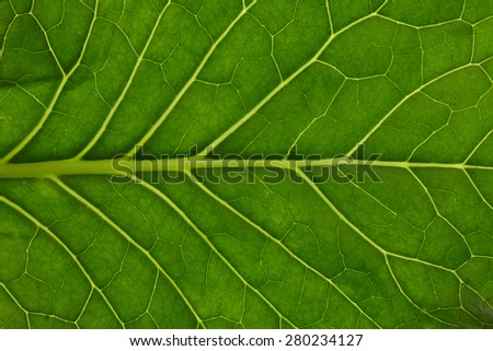 Large Green Leaf Macro View. Cabbage Leaves Texture isolated on White Background. Fresh Vegetable Close Up - stock photo