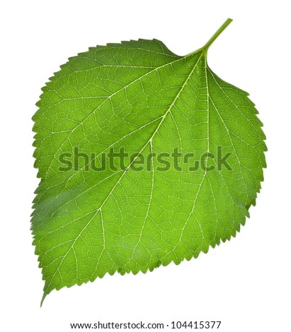 Large green leaves of the tree fresh isolated on white background - stock photo