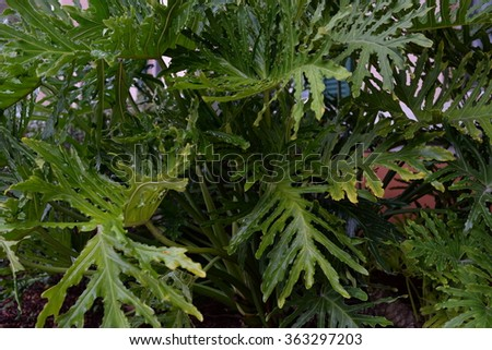Large green leaves - Philodendron Xanadu - stock photo