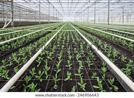 Large greenhouse full of small Lisianthus plants. - stock photo