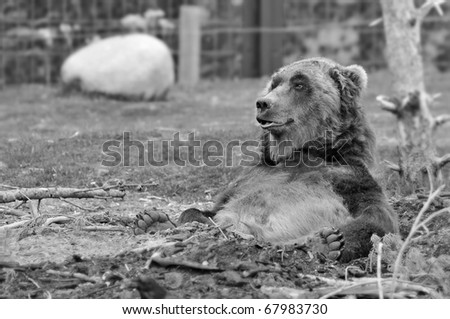 Large Grizzly Bear in Black and White (Also available in color) - stock photo