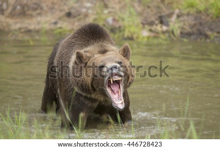 Large grizzly bear in water growling at camera. - stock photo