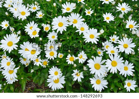 Large group of Daisies - stock photo