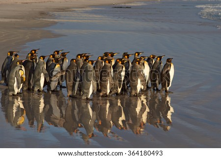 Large group of King Penguins (Aptenodytes patagonicus) standing on a sandy beach before entering the sea at Volunteer Point in the Falkland Islands.  - stock photo