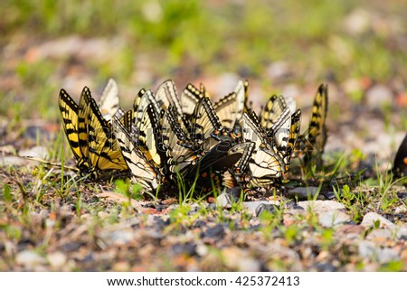 Large group of puddling Eastern Tiger Swallowtail butterflies (Papilio glaucus) - stock photo