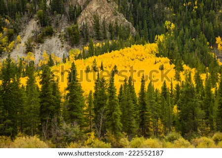 large grove of yellow aspens along mountainside in colorado in autumn - stock photo