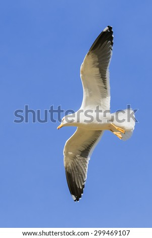 Large gull overhead. A splendid lesser black-backed gull shows its plumage against a blue sky. - stock photo