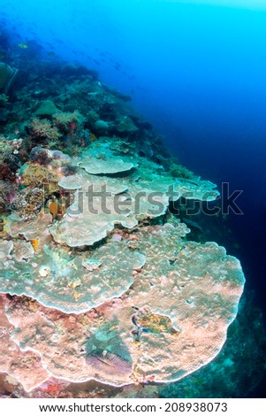 Large hard corals on a tropical coral reef wall - stock photo