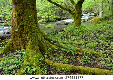 Large hardwood trees,ferns and plant life thrive alongside a stream in the Smokey Mountain N.P. in Tennessee. - stock photo