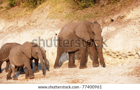 Large herd of African elephants (Loxodonta Africana) in Botswana - stock photo