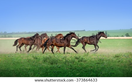 Large herd of beautiful horses galloping across the field in summer. Mustangs against the blue sky - stock photo