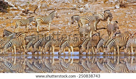 Large herd of zebras drinking from a waterhole with reflection - stock photo