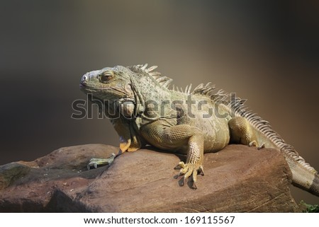 large iguana is located on a rock - stock photo