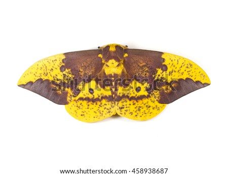 Large Imperial Moth (Eacles imperialis) on a white background - stock photo