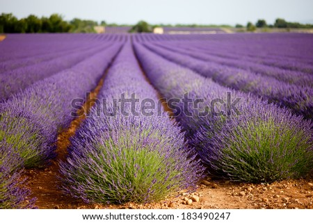 Large lavender field in Provence, France in full purple bloom, july. Shallow depth of field, background blurry. - stock photo