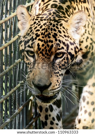Large leopard in the enclosures of the zoo Puerto Ordaz - Venezuela - stock photo