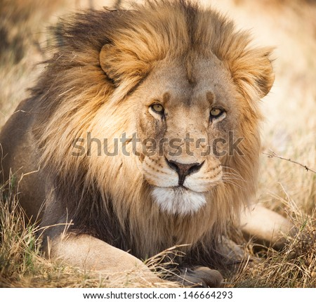 Large lion - stock photo