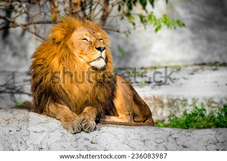 large lion lying on a stone in the park - stock photo