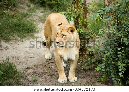 Large lioness in a bright green environment. Lioness looking intensely away with her blue eyes. She is ready to fight. - stock photo