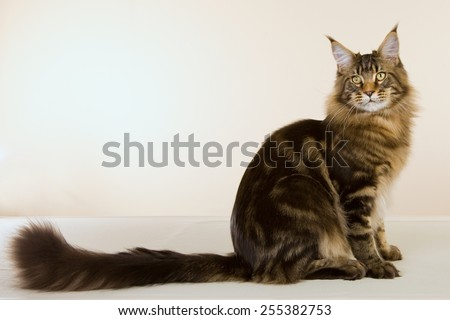 Large Maine Coon cat sitting on beige background showing off long tail  - stock photo
