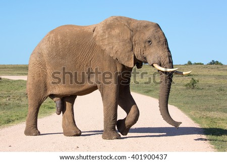 Large male African elephant crossing a gravel road - stock photo