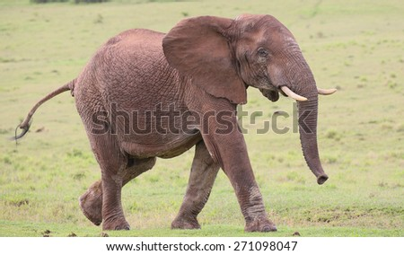 Large male African elephant with trunk extended smelling for water - stock photo