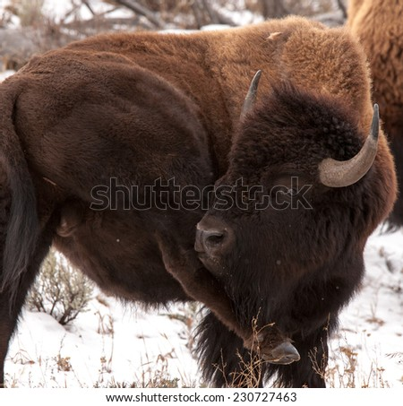 Large male bison cleaning ice clumps from rear legs, Yellowstone National Park in winter - stock photo