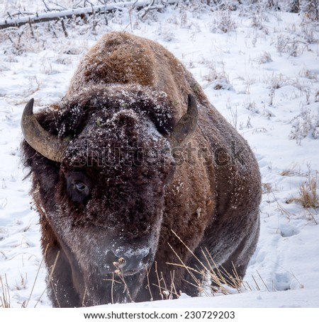 Large male bison foraging for food alone in frigid temperatures in Yellowstone National Park, looking right - stock photo