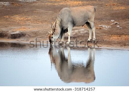 Large male eland antelope (Tragelaphus oryx) drinking at a waterhole, Etosha National Park, Namibia - stock photo