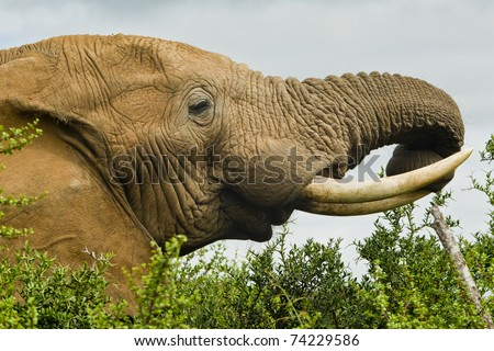 Large male elephant eating from the top of a tree - stock photo