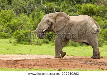 Large male elephant standing and drinking at a water hole - stock photo