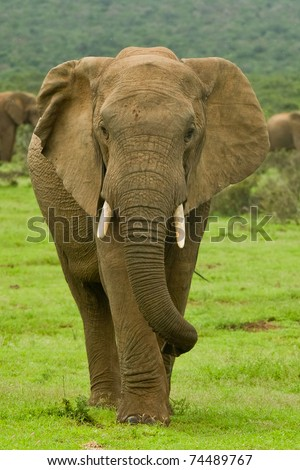large male elephant walking away from the herd - stock photo