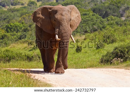 Large male elephant walking down a gravel road in the hot midday sun - stock photo