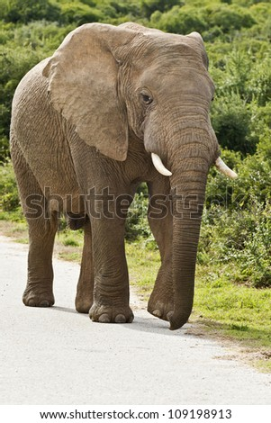 large male elephant walking on a tar road in a reserve - stock photo