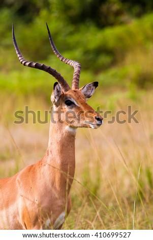 Large male impala with big horns - stock photo