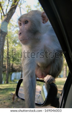Large male macaque sitting on a car's sideview mirror begging for a handout.  Best to not open the window and give him what he wants though, as they can be quite dangerously aggressive. - stock photo