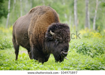 large male of american bison in the national park Priokskiy - stock photo