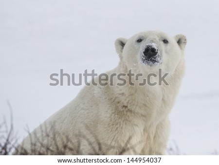 Large male polar bear looks up at camera - stock photo