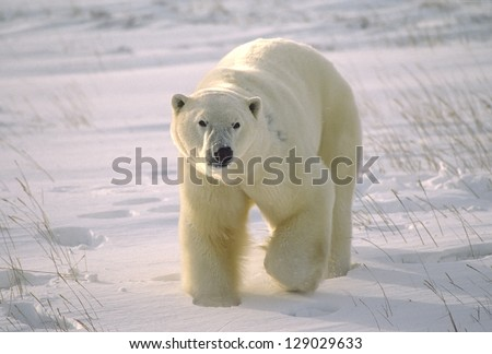 Large male polar bear on Arctic tundra - stock photo