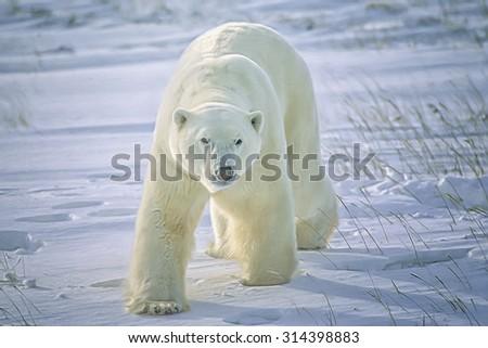 Large male polar bear on Canadian Arctic tundra,digital oil painting - stock photo