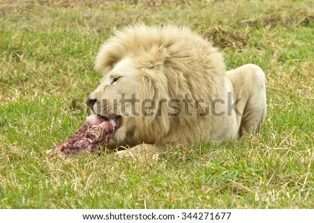 Large male white lion lying and enjoying a large piece of red meat - stock photo