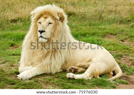 large male white lion lying down and looking into the distance - stock photo