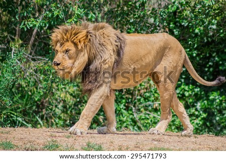 Large mane Lion, wander in search of a dam - stock photo