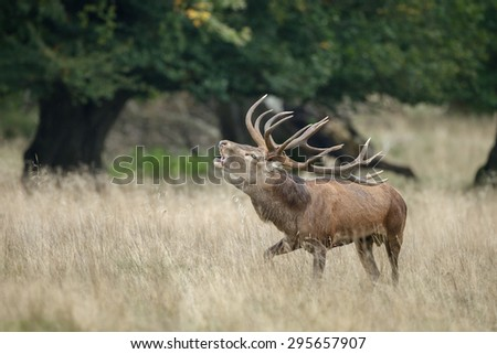Large mature Red Deer stag - stock photo