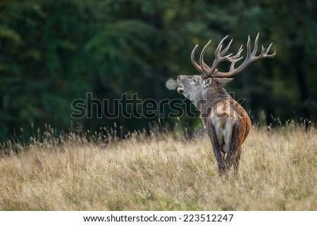 Large mature Red Deer stag bellowing during the rut and you see a breath cloud - stock photo
