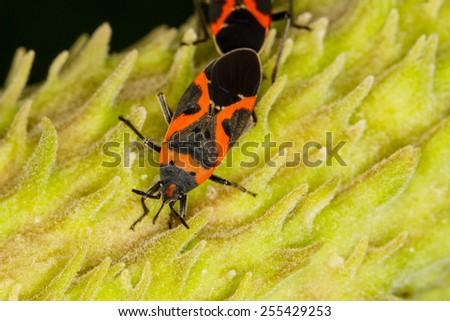 Large Milkweed Bug, Oncopeltus fasciatus - stock photo
