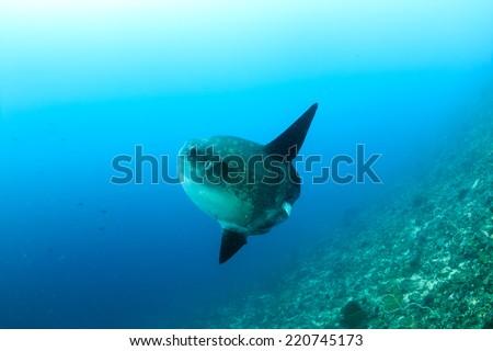 Large Mola Mola (Oceanic Sunfish) deep underwater - stock photo