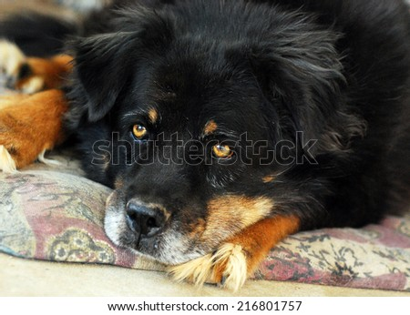 Large mongrel dog shaggy with long hair who lives outside. - stock photo