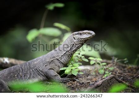 Large monitor lizard in Sri Lanka - stock photo